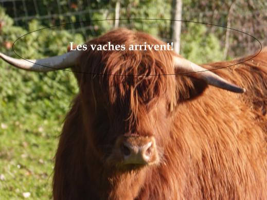 vidéo sur les vaches !